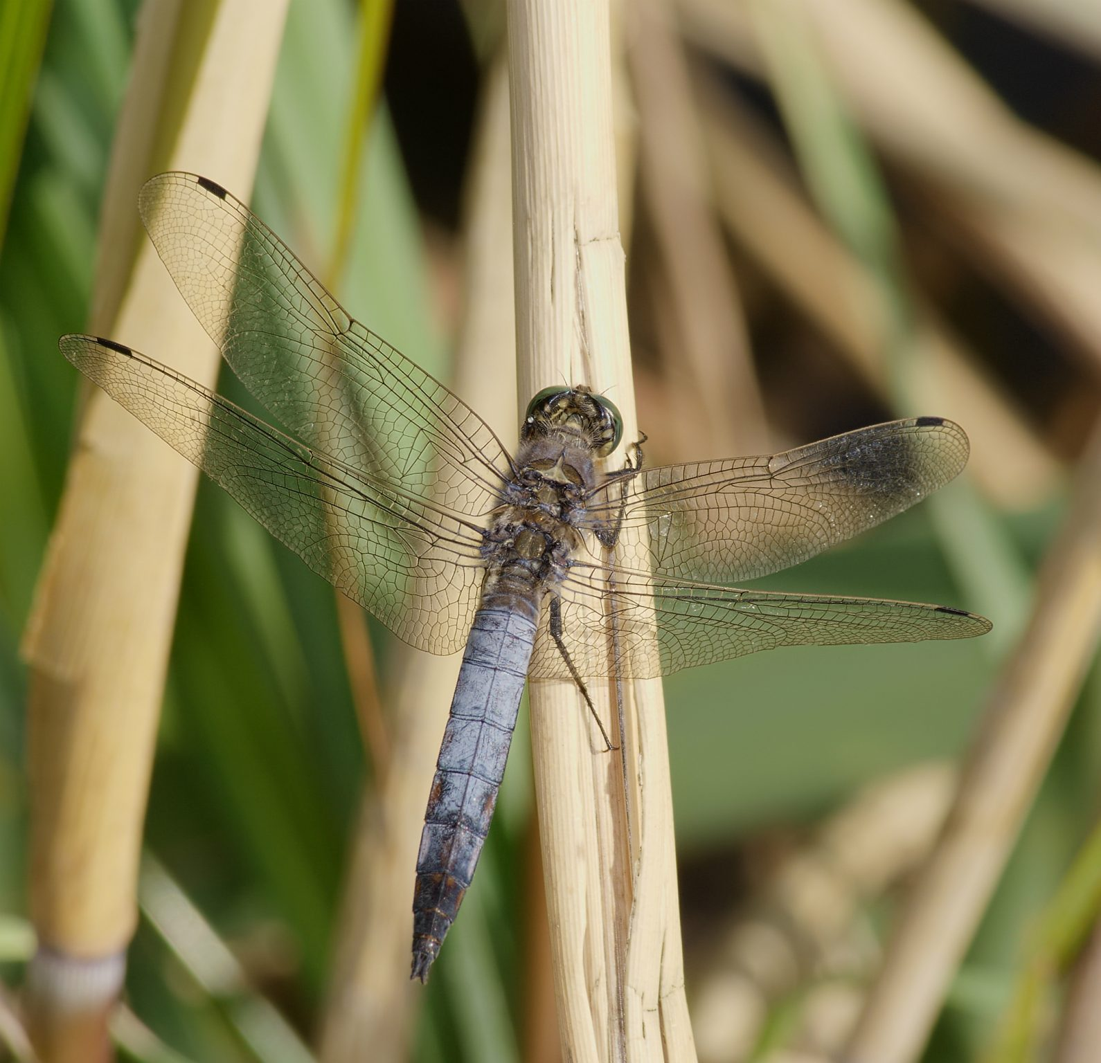 Black-tailed Skimmer mascul