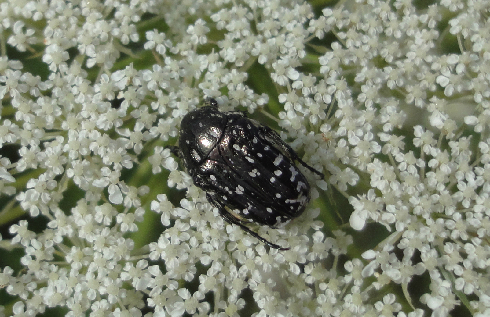 cărăbuş negru cu puncte albe
