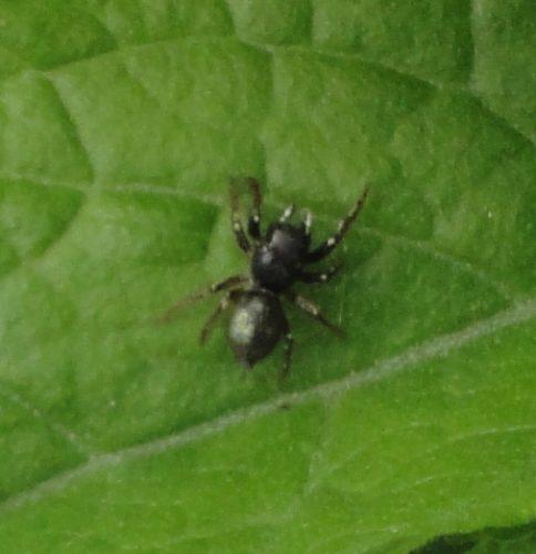 păianjen negru cu puncte albe