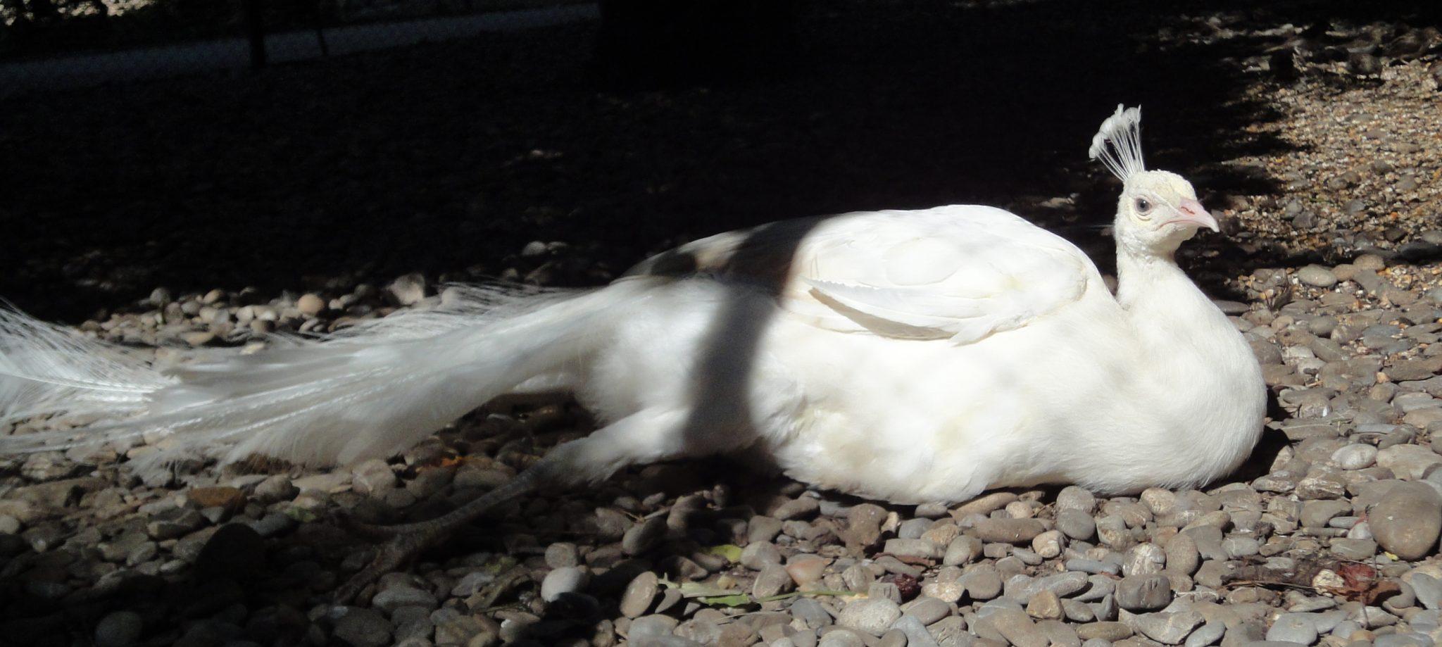 Pavo cristatus varianta Albino