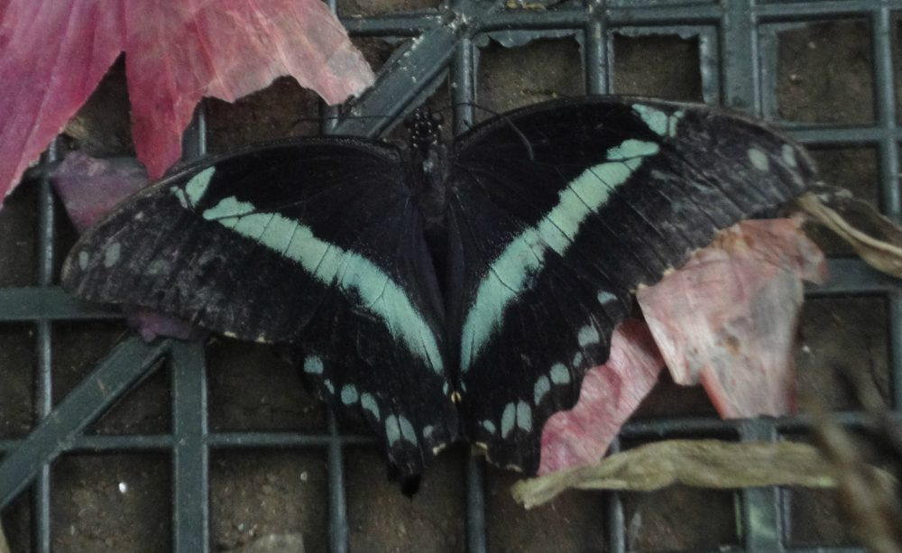 Narrow Green-Banded Swallowtail