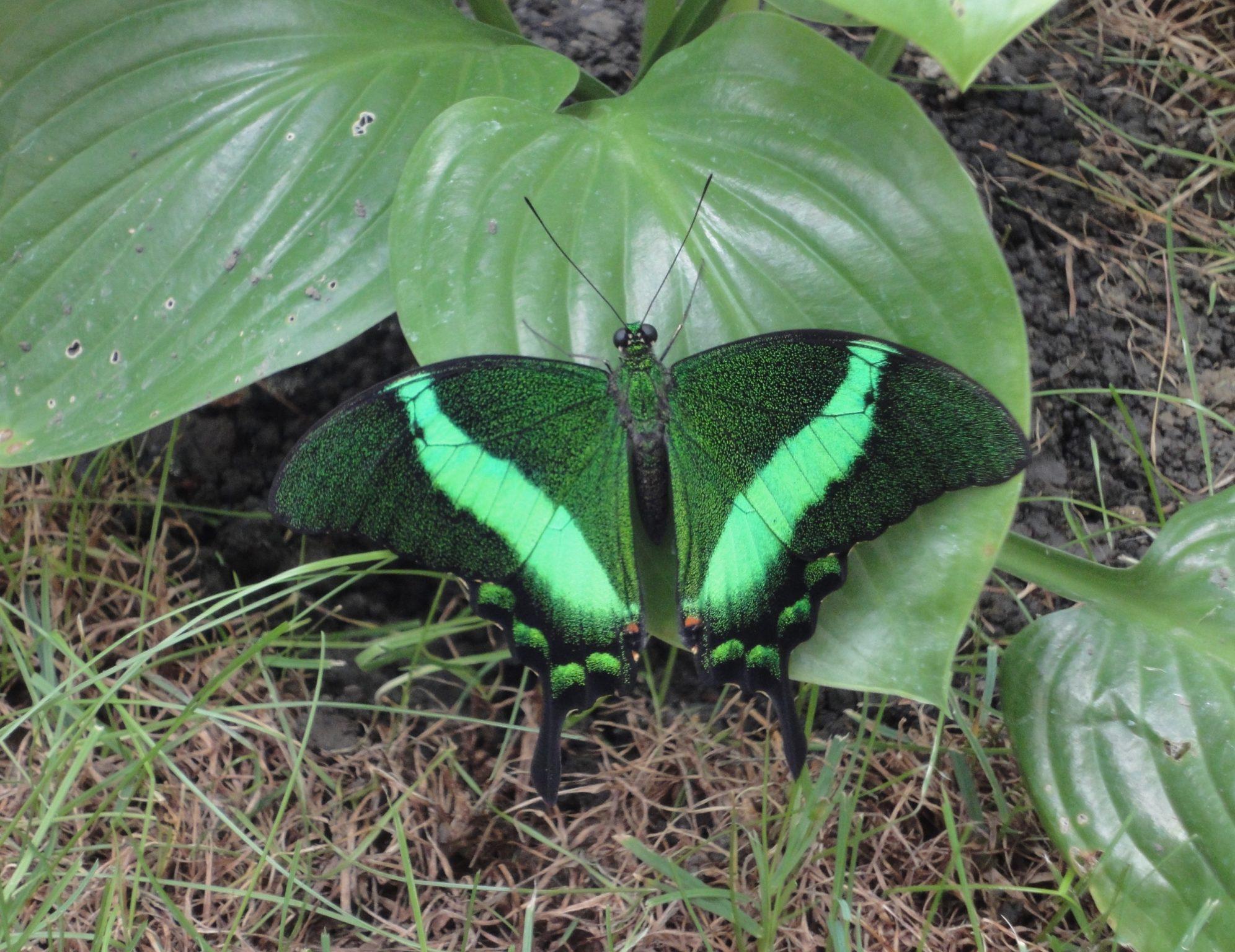 Emerald Swallowtail, Coada Rândunicii de Smarald