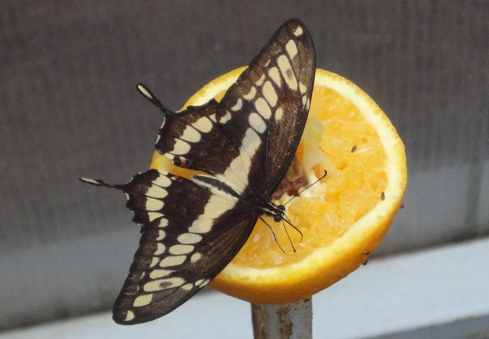 Thoas Swallowtail, Coada Rândunicii Regală