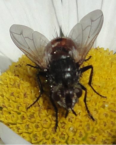 muscă roşie cu ţepi