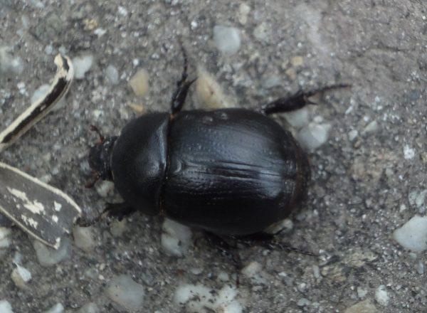 cărăbuş negru mare