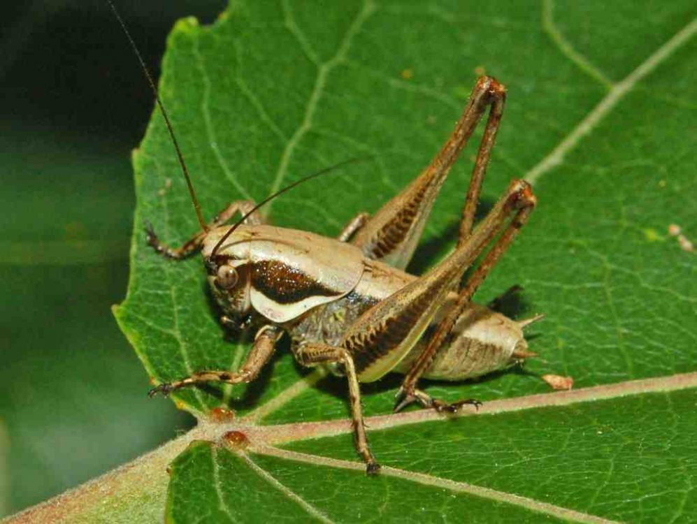 Meadow Dark Bush-cricket, Fischer's Bush-cricket
