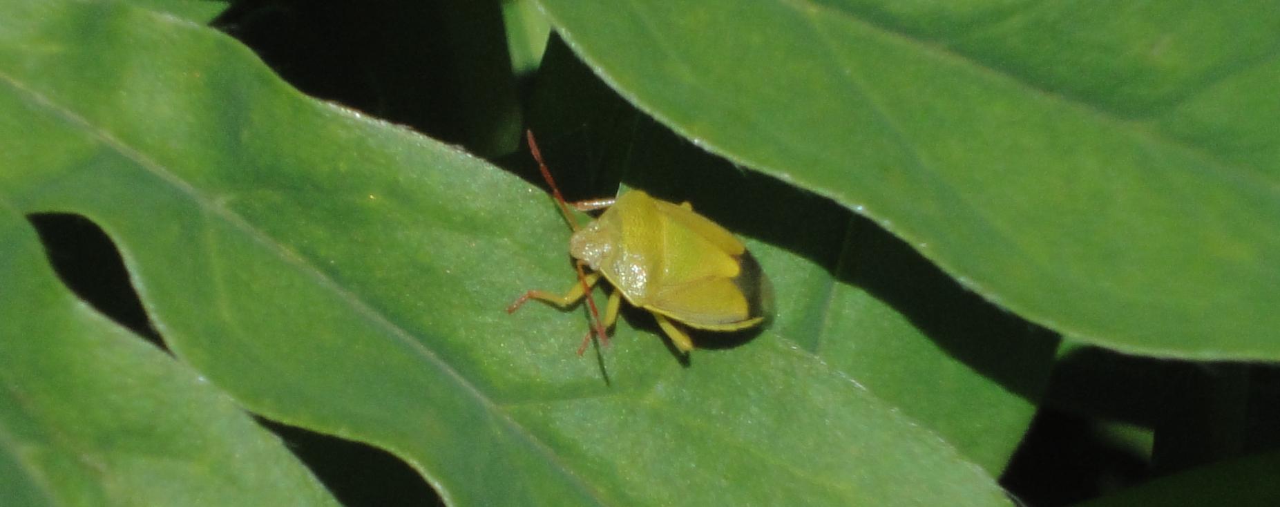 ploşniţă galbenă