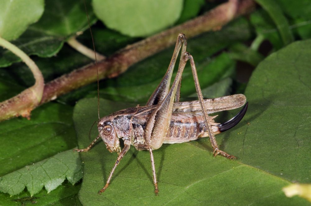 Common Grey Bush-cricket, Grey Bush-cricket femelă