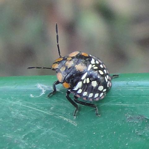 Southern Green Stink Bug, ploşniţă neagră cu puncte albe şi portocalii