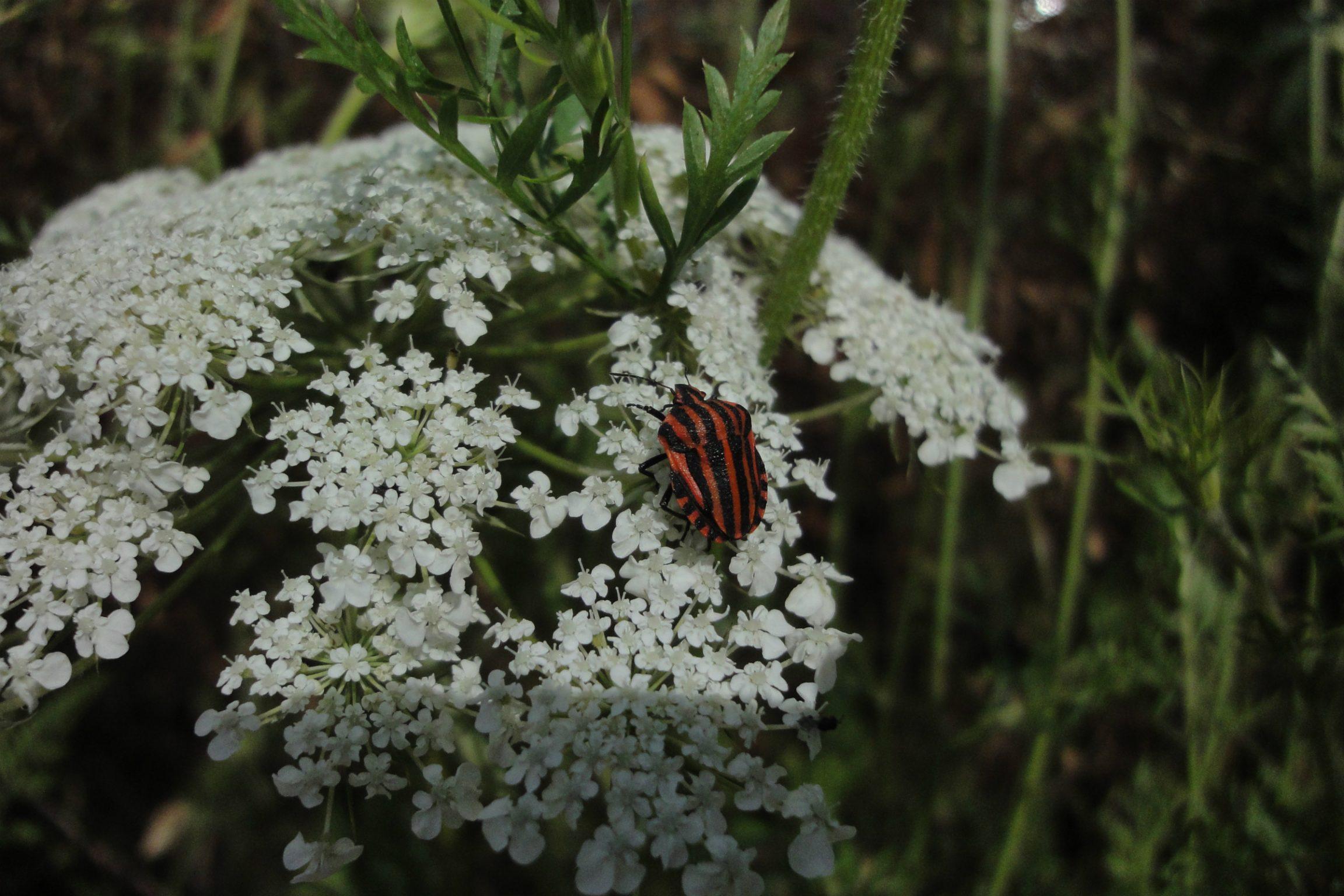 Graphosoma lineatum, ploşniţă roşie cu dungi negre