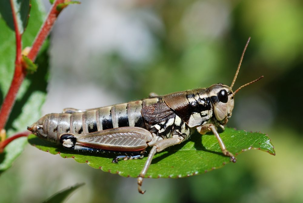 Common Mountain Grasshopper femelă