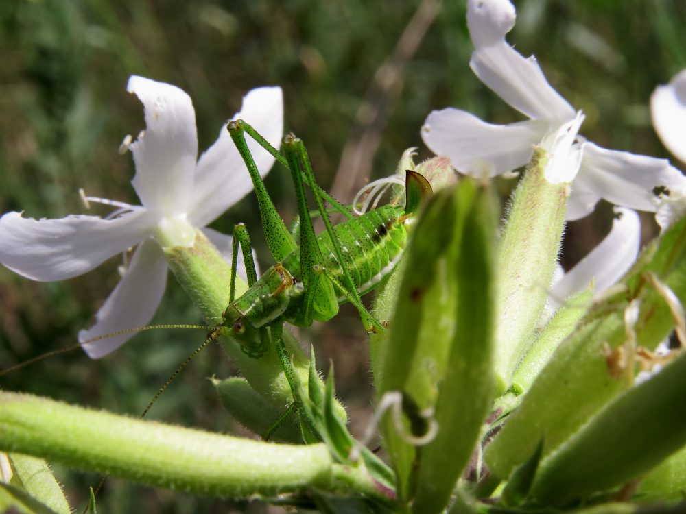 Intermediate Bright Bush-cricket