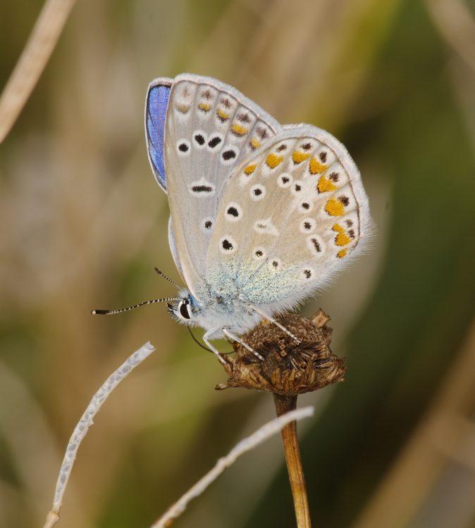 Common Blue mascul profil