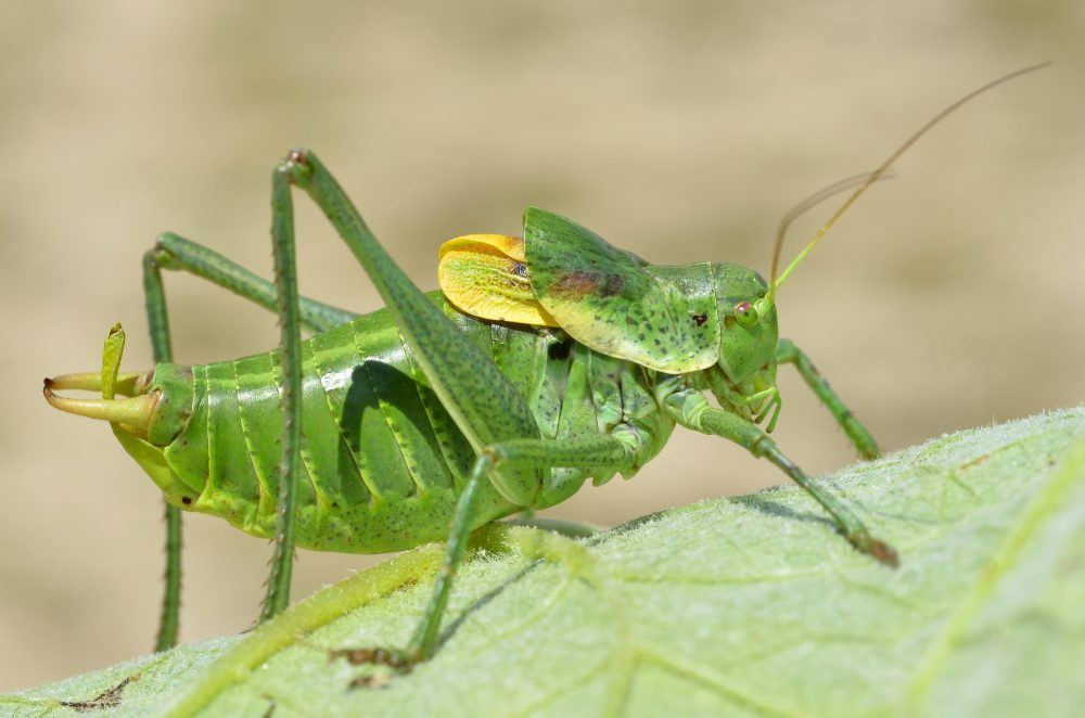 Bull Bush-cricket