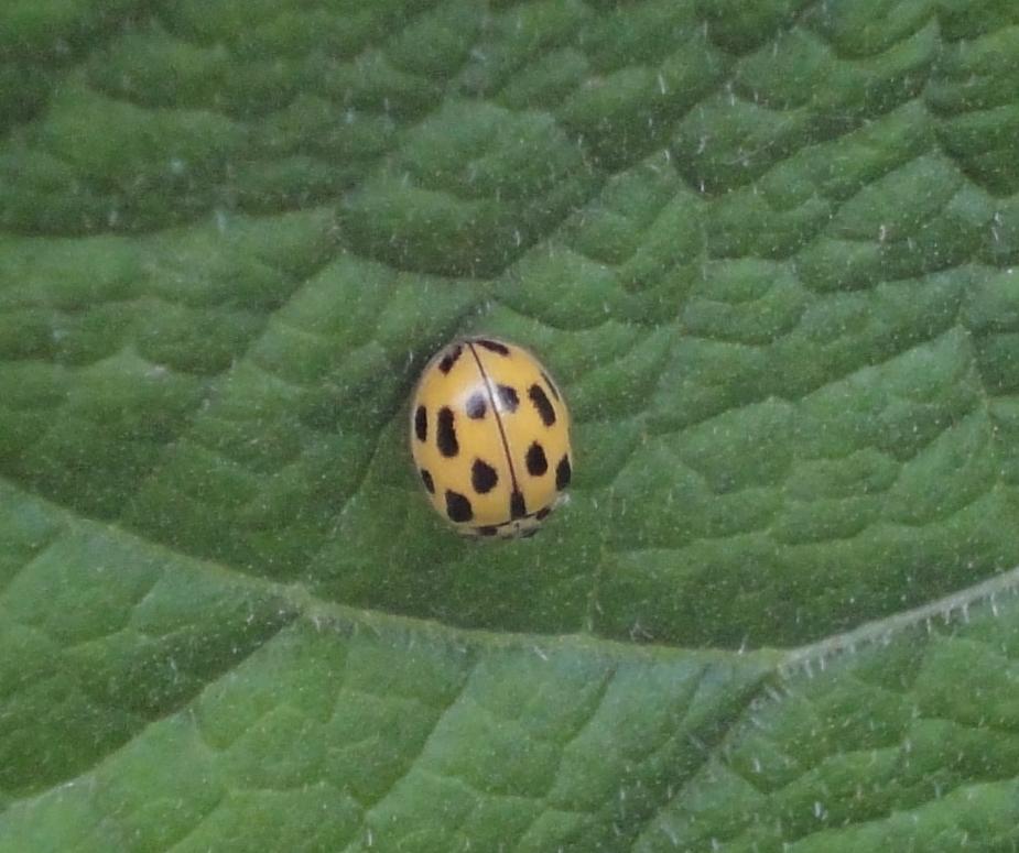 14-spot Ladybird, buburuză galbenă cu 14 puncte