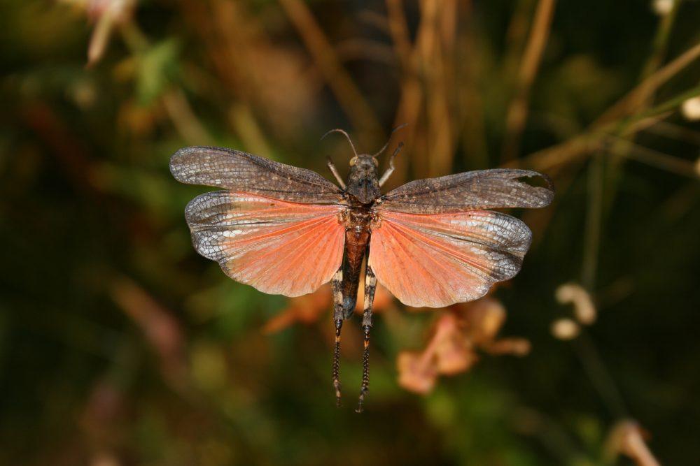 Rattle Grasshopper