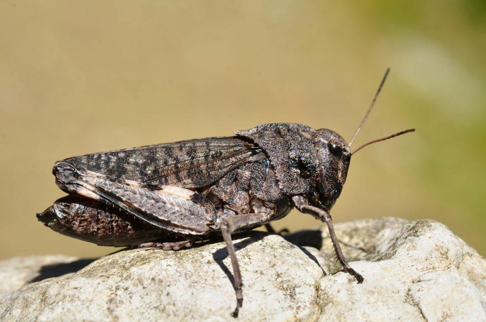 Rattle Grasshopper femelă