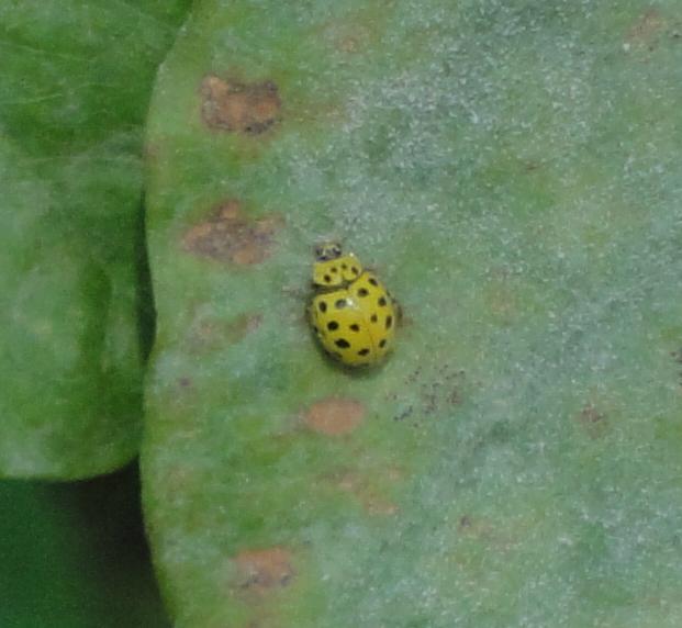 22-spot Ladybird, buburuză galbenă cu 22 puncte negre