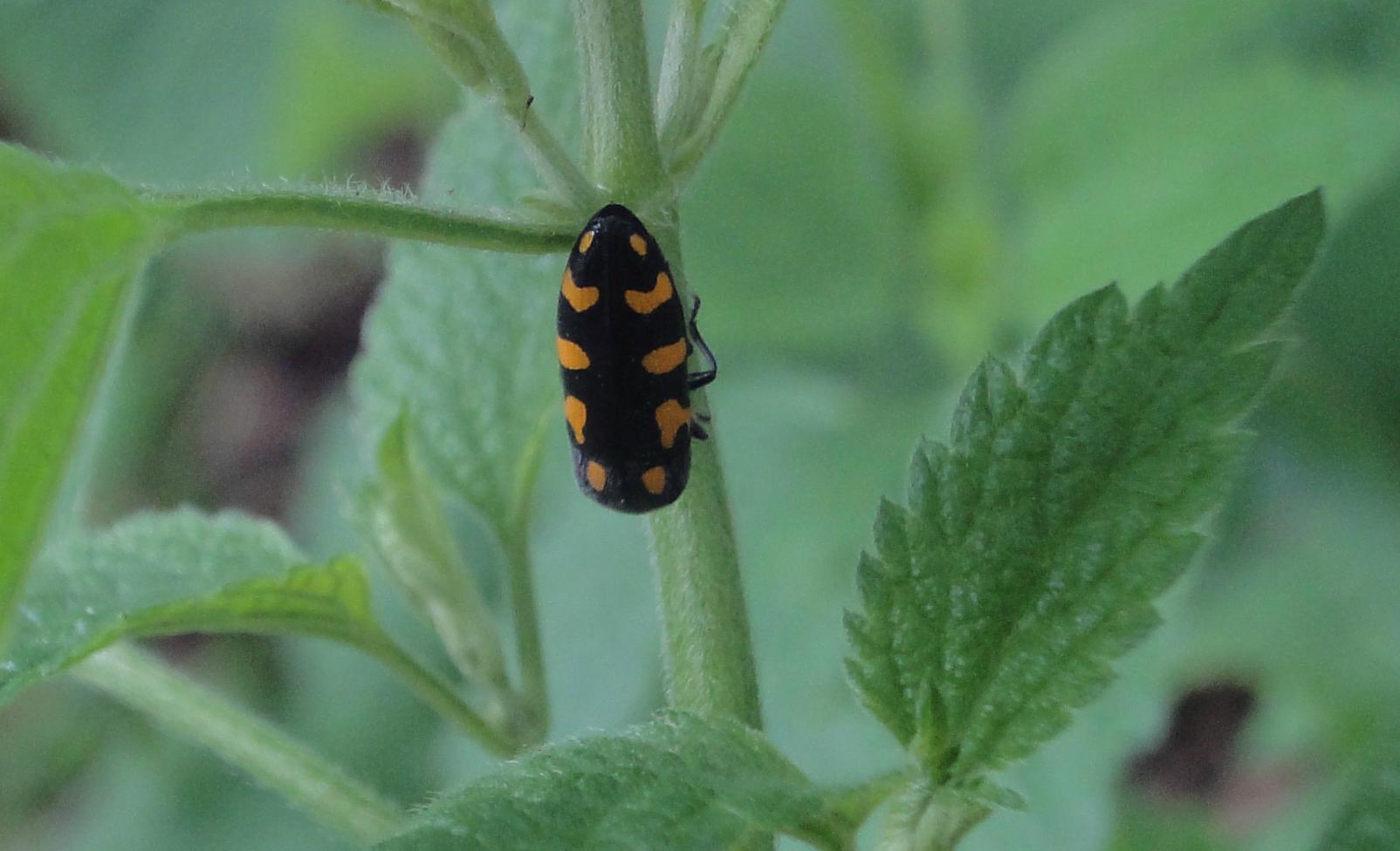 Gândac negru cu puncte portocalii