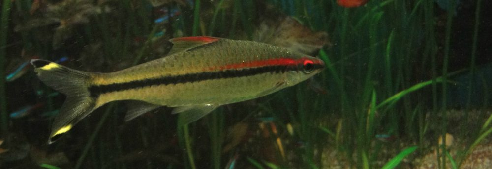 Sahyadria denisonii, Red Line Torpedo Barb, Denison Barb, Miss Kerala