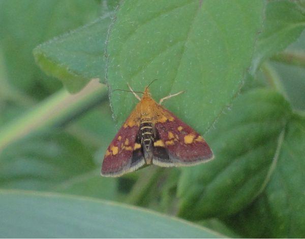 fluture din România