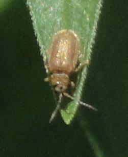 Viburnum Leaf Beetle gândăcel maro