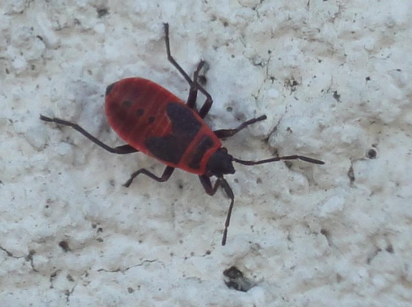 Firebug, Gândac roşu cu negru
