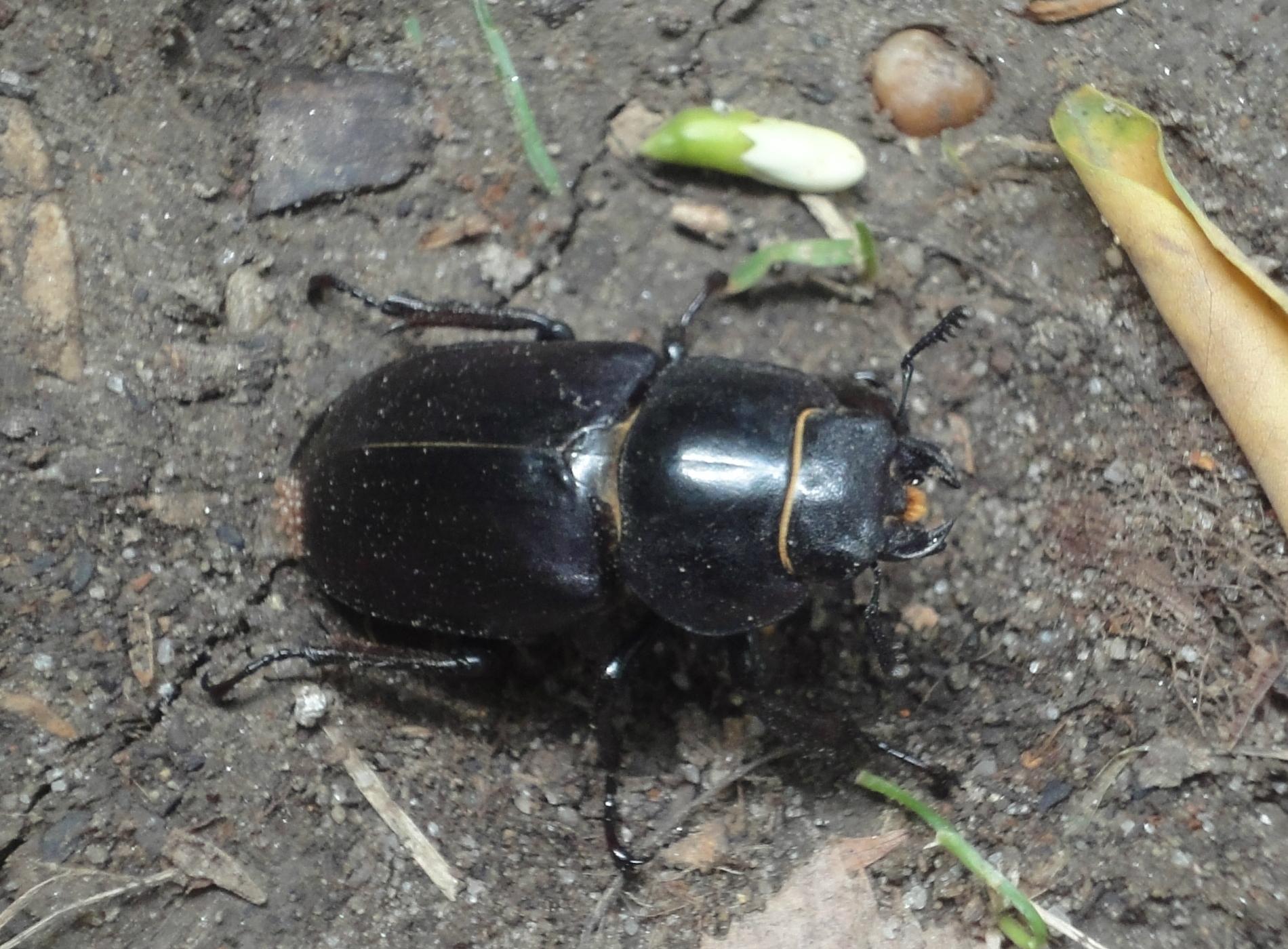 Lucanus cervus femelă