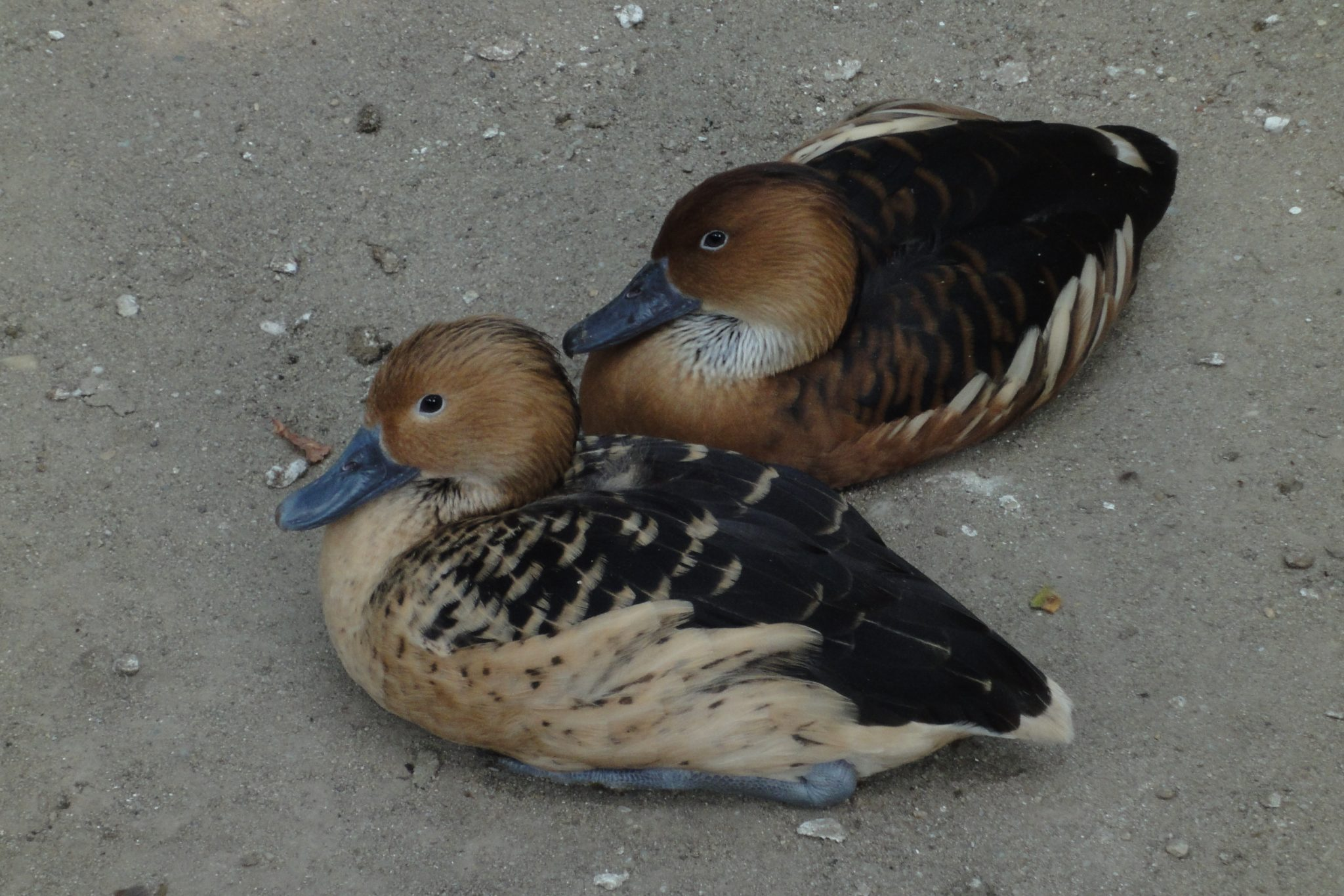 Dendrocygna bicolor, Fulvous Whistling-duck, Fulvous Duck