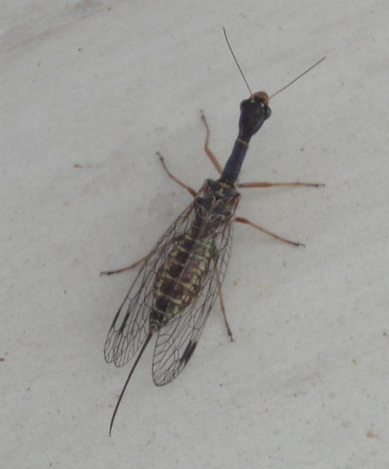 insectă cu capul lung negru