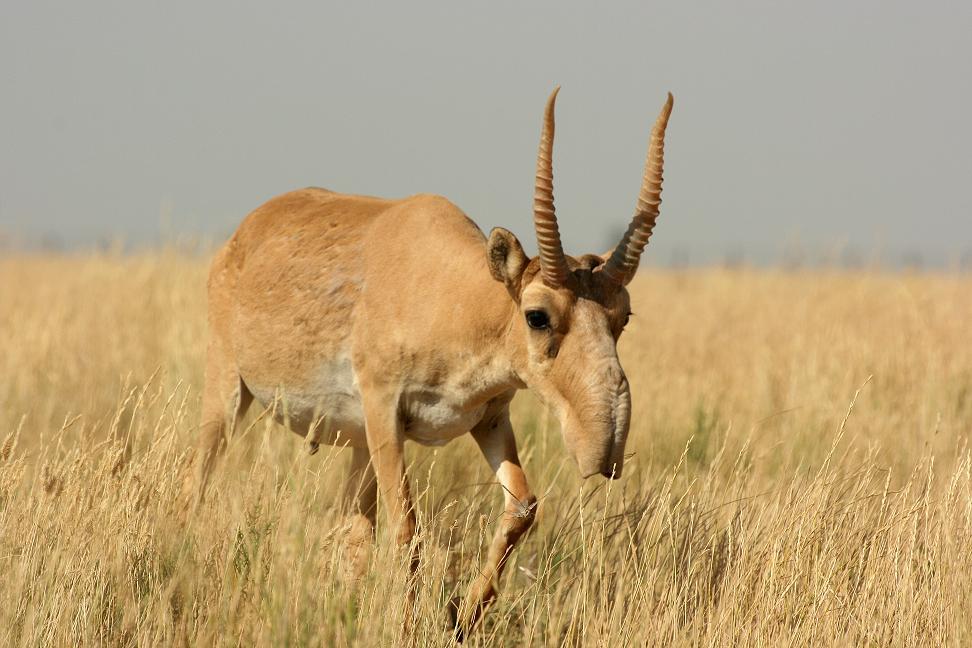 Antilopa Saiga (Saiga tartarica)