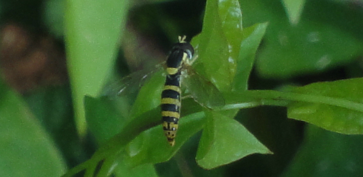 Hoverfly galben cu dungi negre