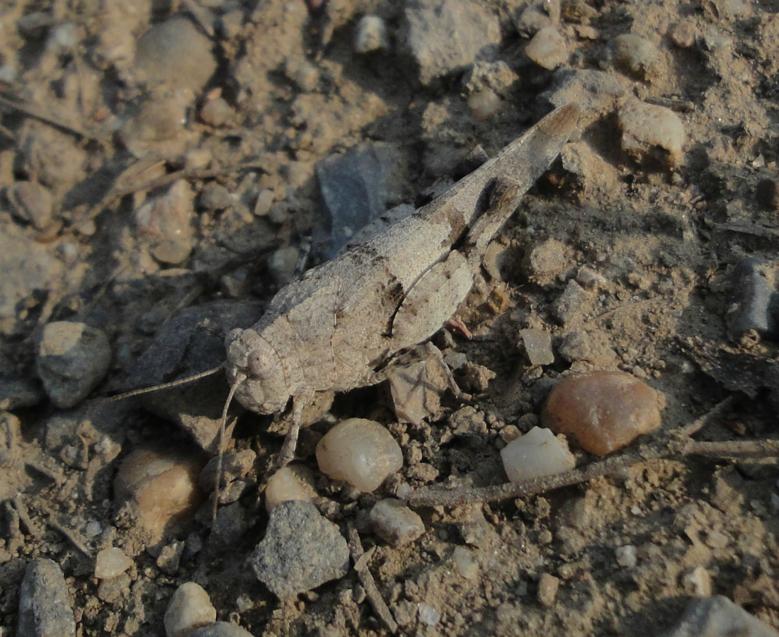 Slender Blue-winged Grasshopper