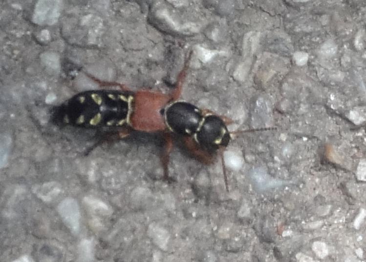 Gândac negru cu roşu şi galben