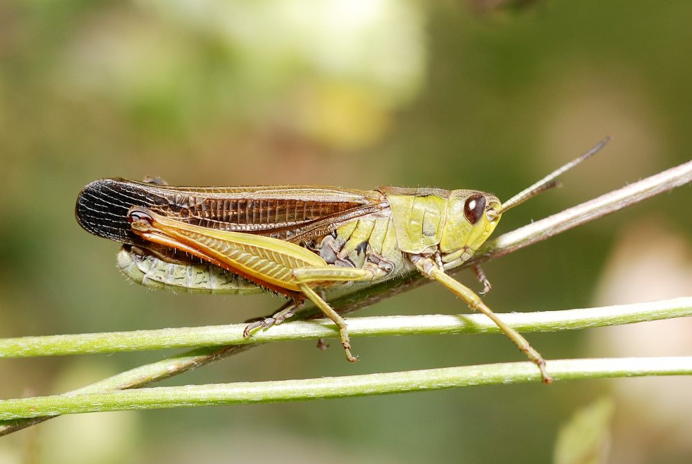 Ladder Grasshopper mascul