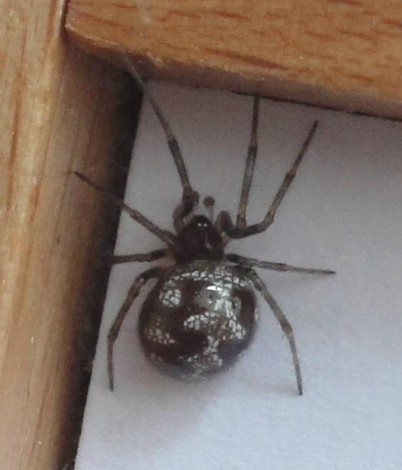 Triangulate Cob Web Spider, Triangulate Bud Spider