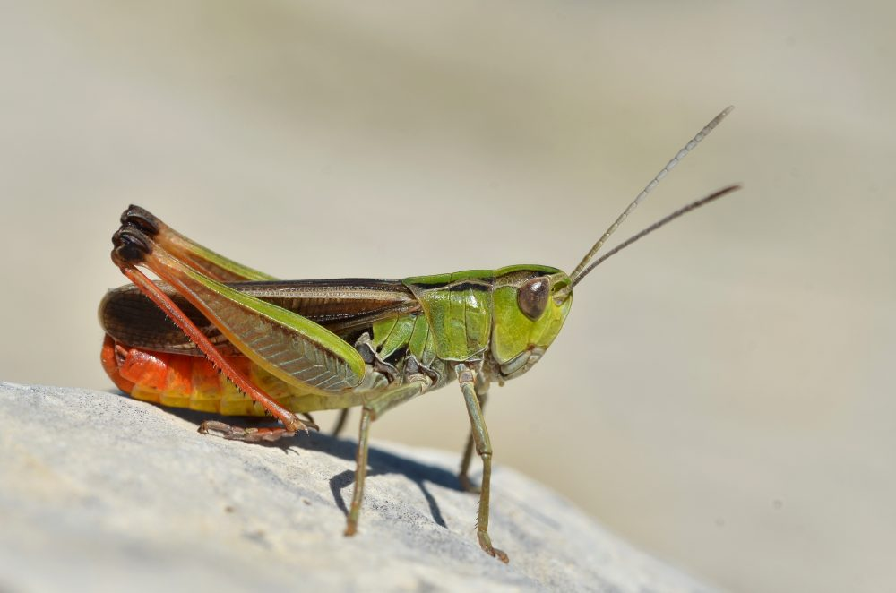 Stripe-winged Toothed Grasshopper