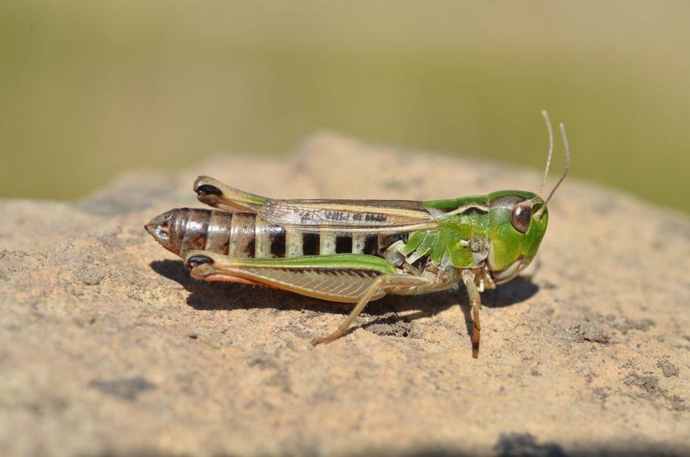 Black-spotted Toothed Grasshopper femelă
