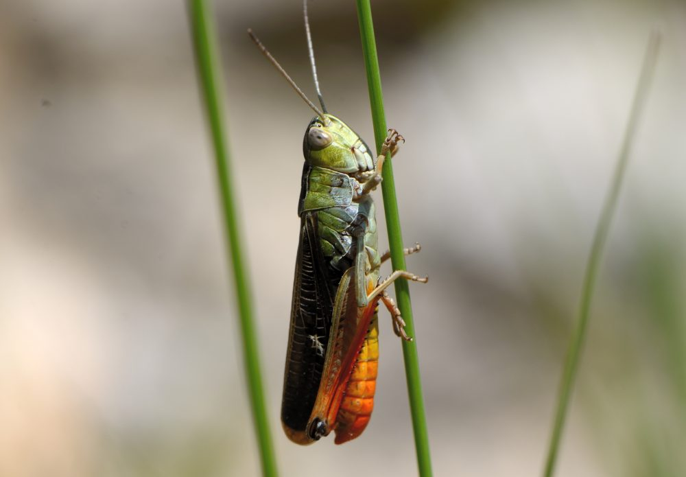 Wing-buzzing Toothed Grasshopper
