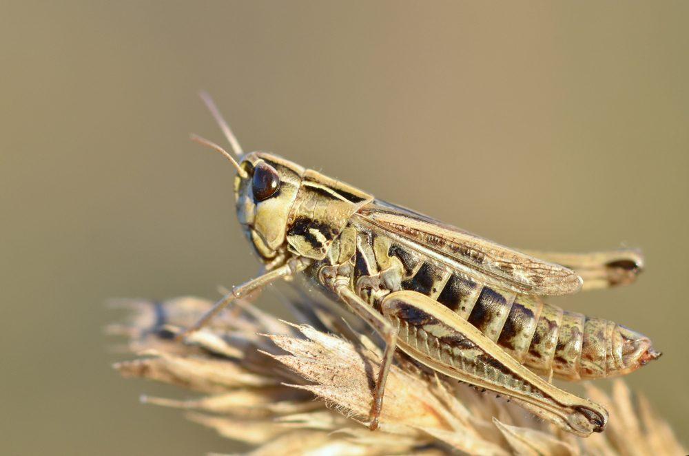 Lesser Toothed Grasshopper femelă
