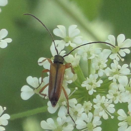 Black-striped Longhorn Beetle, gândac maro cu negru