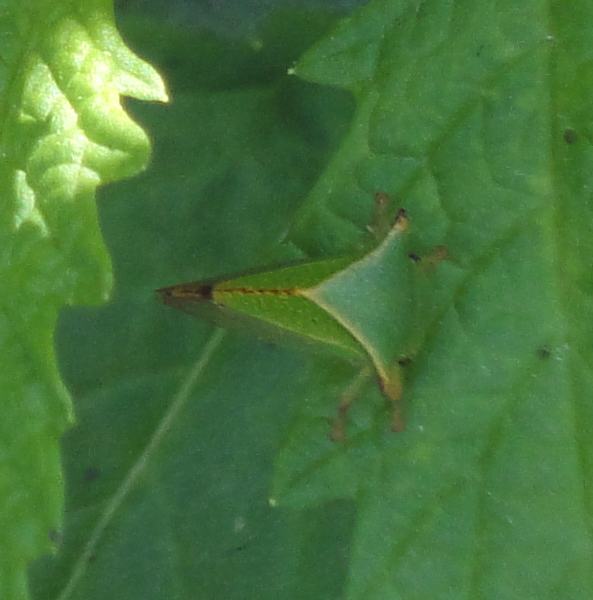 Insectă verde