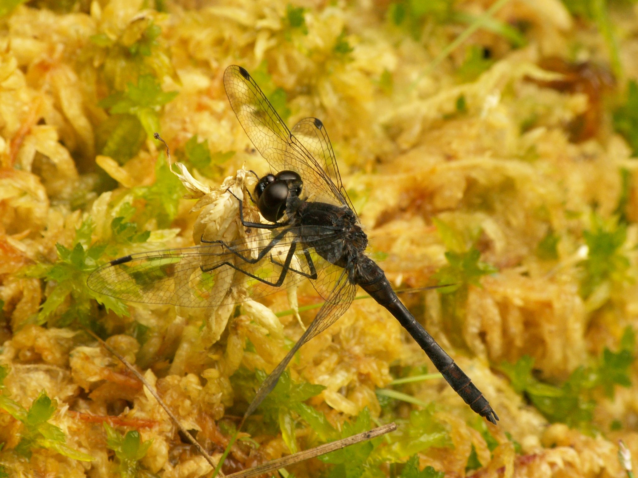 Black Darter, Black Meadowhawk (USA)