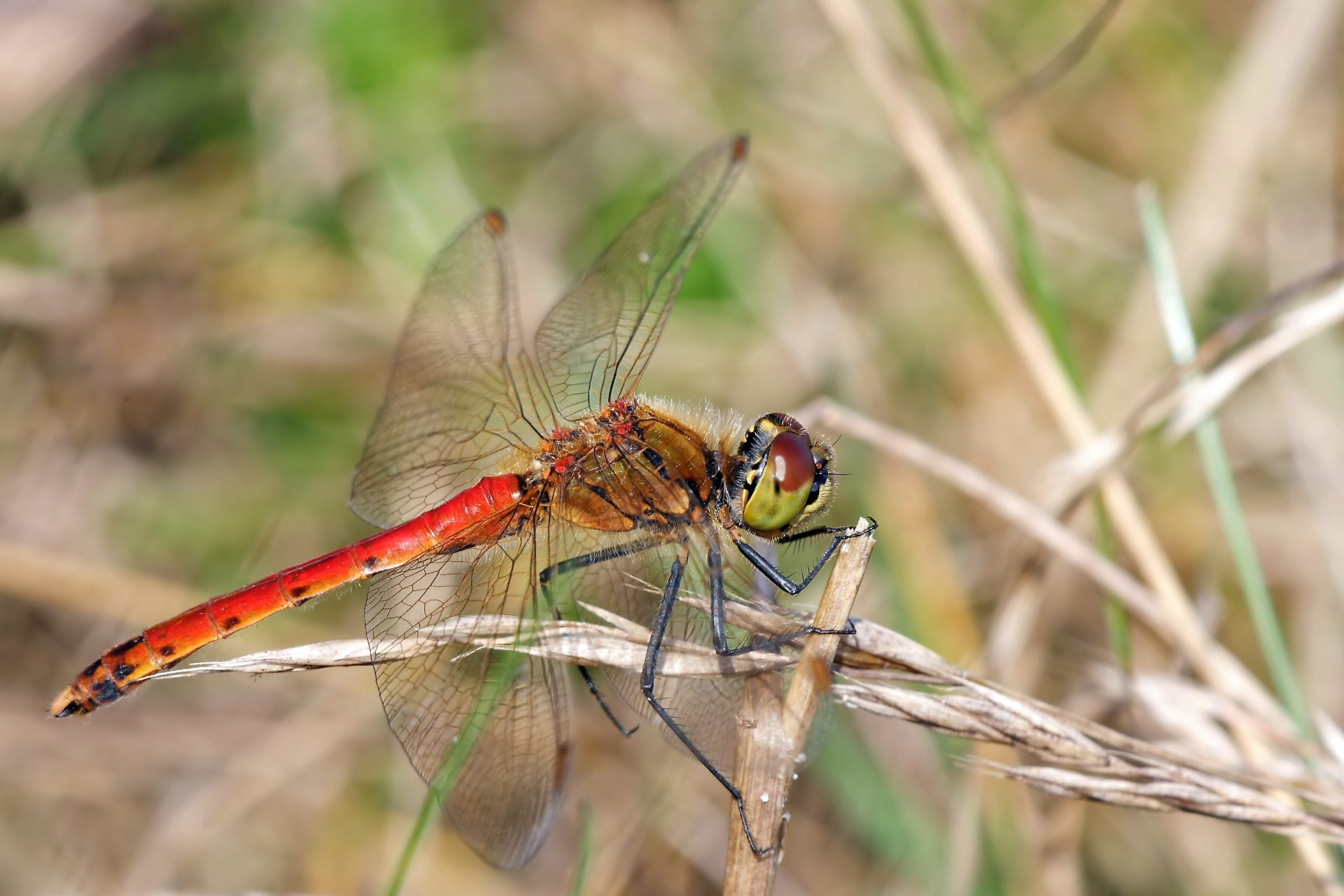 Spotted Darter mascul