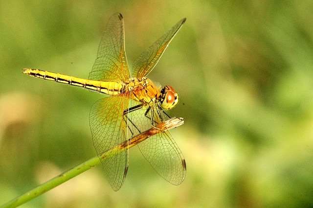 Yellow-winged Darter femelă