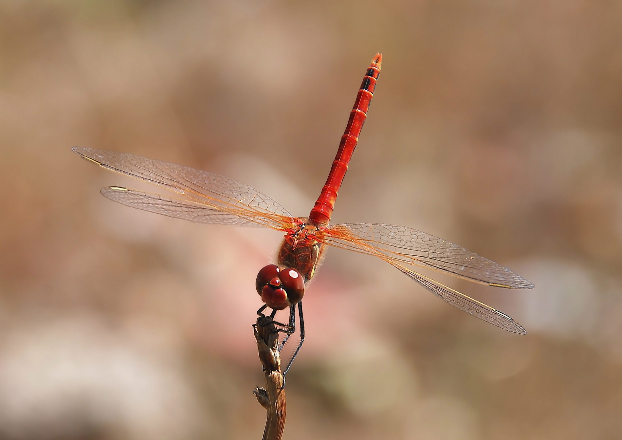 Red-veined Darter mascul