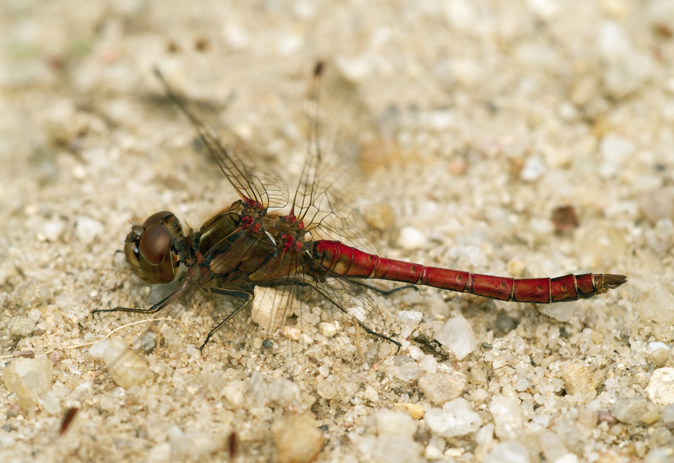 Vagrant Darter, Moustached Darter mascul
