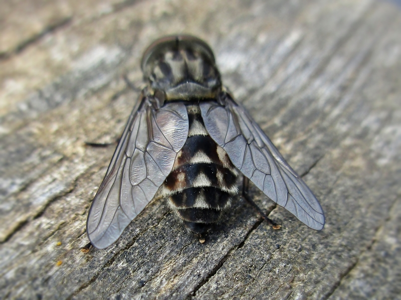 Large Marsh Horsefly mascul