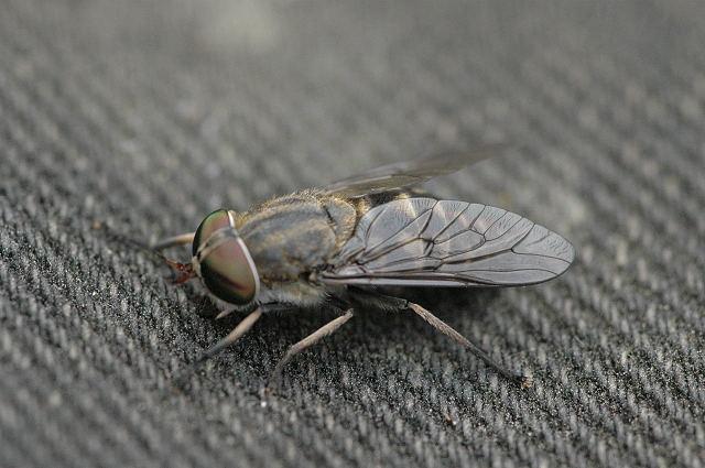 Pale Giant Horsefly femelă