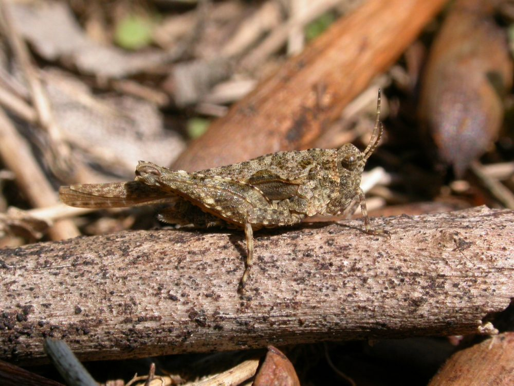 Sand Groundhopper, Cepero's Groundhopper